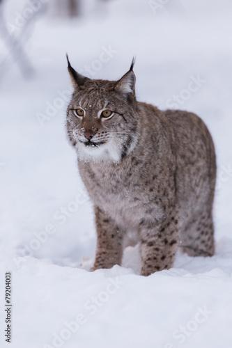 Foto auf Leinwand Luchs Eurasian Lynx in snowy forest