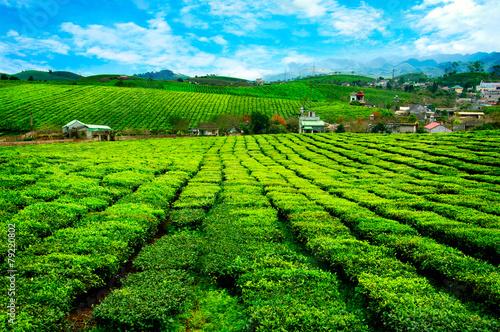 Papiers peints Vignoble Tea hills in Moc Chau highland, Son La province in Vietnam