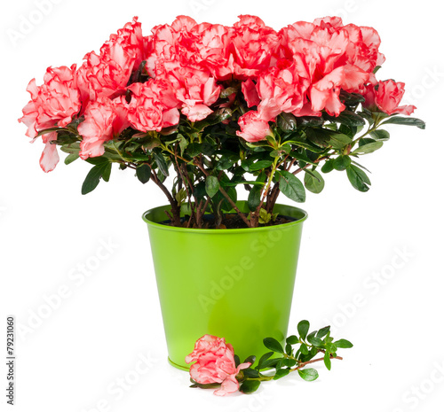 Photo sur Aluminium Azalea azalea in pot isolated
