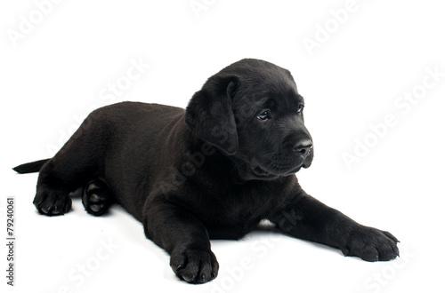 Poster Puma labrador puppy