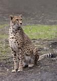 Fototapeta Sawanna - gepard