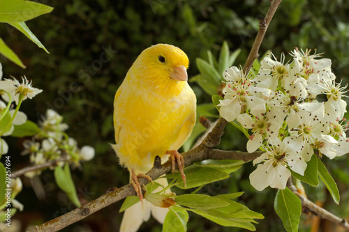Photo  Canary on a branch of a flowering pear.