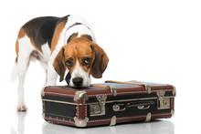 Beagle Mit Koffer