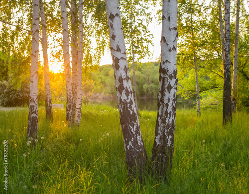 Fotografie, Obraz  birch trees in a summer forest