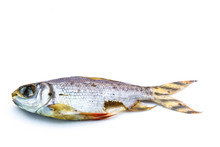 Carrion ,dead Fish On White Background