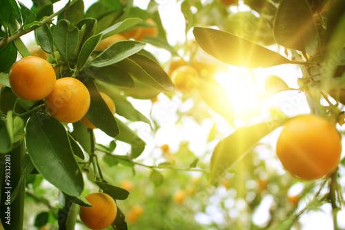 Fotografija  Orange tree