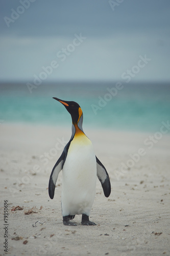 Papiers peints Pingouin King Penguin (Aptenodytes patagonicus)