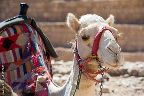 Fotobehang Midden Oosten Camel resting