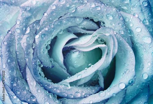 piekna-zroszona-roza-w-niebieskim-odcieniu