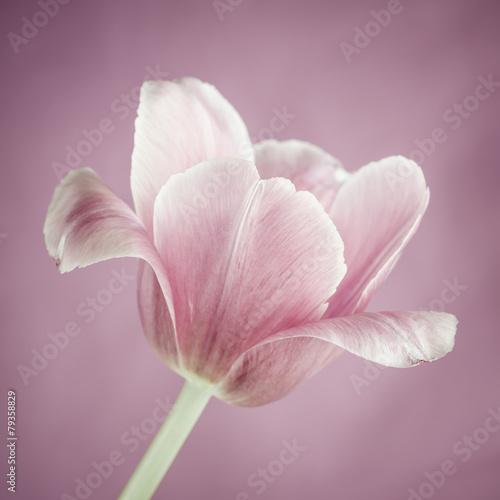 rozowy-tulipan