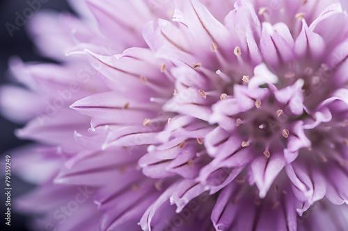 kwiat-szczypiorku