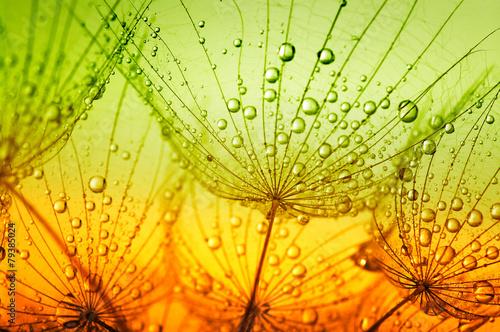 kwiat-mniszka-lekarskiego-dmuchawca-z-kropelkami-wody