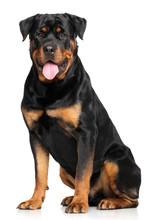 Rottweiler In Front Of White B...