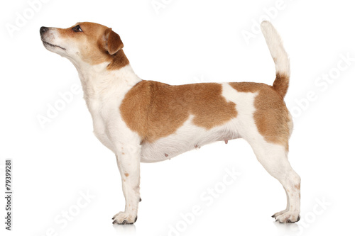 Obraz Jack Russell terrier in standing - fototapety do salonu