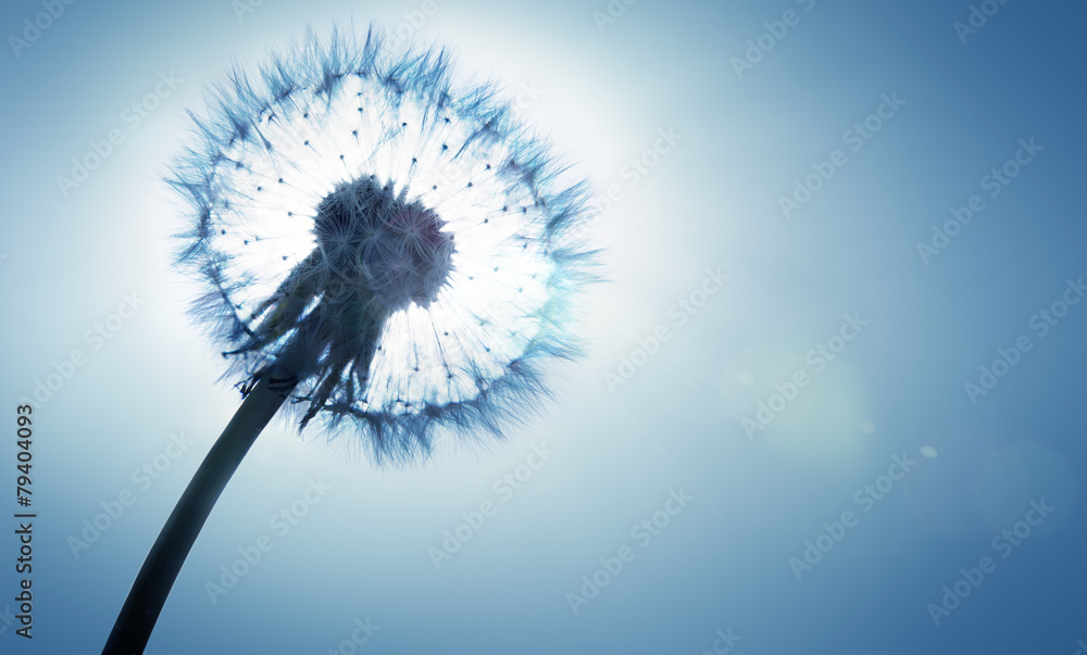 Fototapeta dandelion - spring and allergy