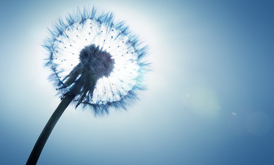 dandelion - spring and allergy