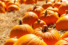 Orange Pumpkins In A Field Of ...