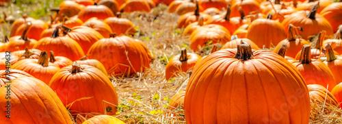 Photo Pumpkins backlit in a straw field pumpkin patch