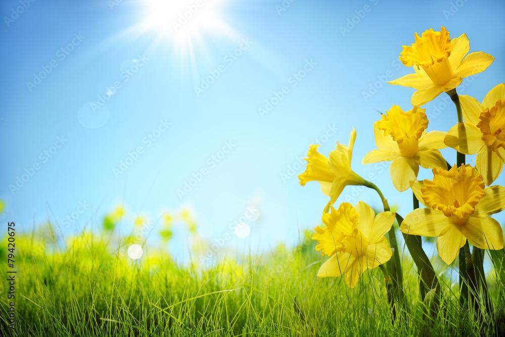 Fototapeta Daffodil flowers in the field
