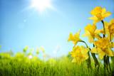 Fototapeta Kwiaty - Daffodil flowers in the field