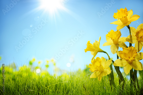 Ingelijste posters Narcis Daffodil flowers in the field