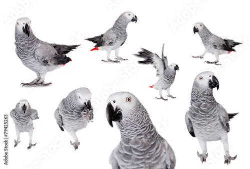 Keuken foto achterwand Uil African Grey Parrot, isolated on white background