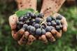 canvas print picture - Grapes harvest