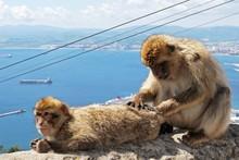 Barbary Apes, Gibraltar © Arena Photo UK