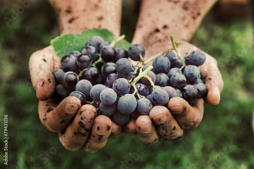 Canvas Prints Vineyard Grapes harvest