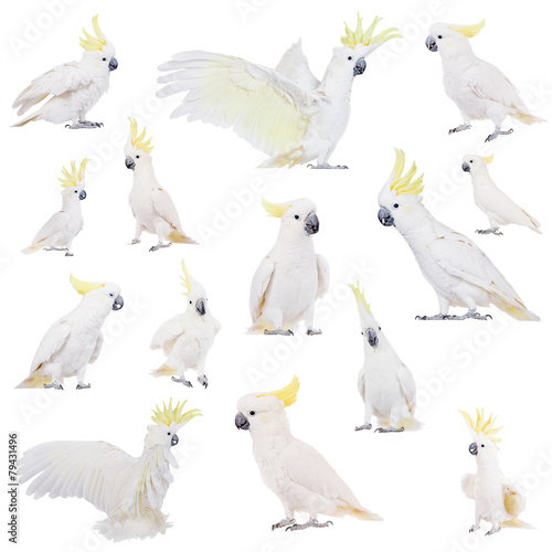 Fond de hotte en verre imprimé Perroquets Sulphur-crested Cockatoo, isolated on white