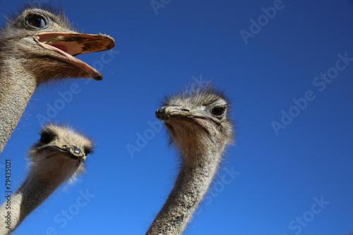 Fotobehang Struisvogel Vogelstrauß