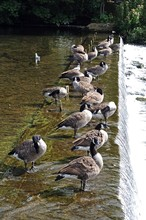 Canada Geese Standing On Weir ...