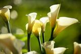 White Calla Lilies