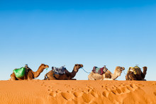 Camels In A Line Sitting On Sand In The Sahara Desert, Morocco