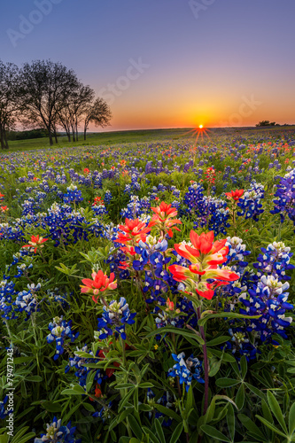 Poster Texas Texas wildflower - bluebonnet and indian paintbrush field