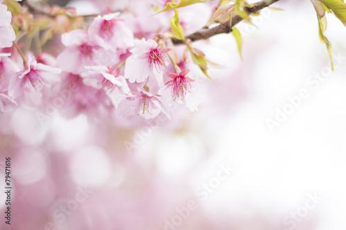 Deurstickers Kersen 桜 満開