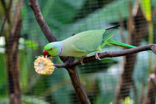 Green Indian Ring-necked Parak...