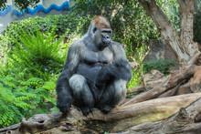 Gorilla On A Tree
