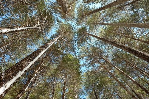 Fényképezés  High Pines Trees Etna National Park, Sicily