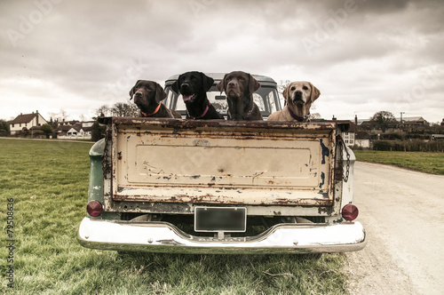 Photo Stands Vintage cars labradors in a vintage truck