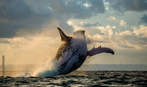 Humpback whale jump at sunset. Madagascar. Canvas-taulu