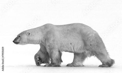Poster Polar bear Polar bears are nose to nose.