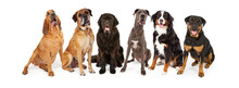 Giant Breed Dog Group