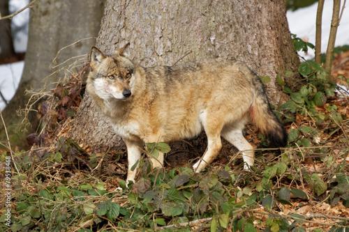 Printed kitchen splashbacks Ass Wolf ( canis lupus )