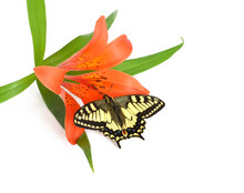 Butterfly On Red Lily On White Background
