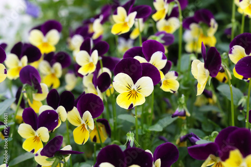 In de dag Pansies viola tricolor