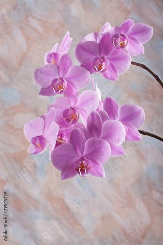 fioletowy-kwiat-orchidei-phalaenopsis