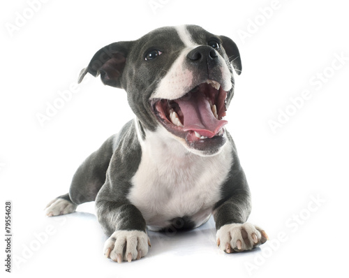 puppy staffordshire bull terrier Canvas Print