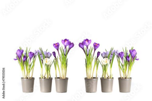Spoed Foto op Canvas Iris group purple crocuses