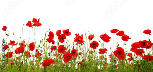 Photo sur Toile Poppy red poppy